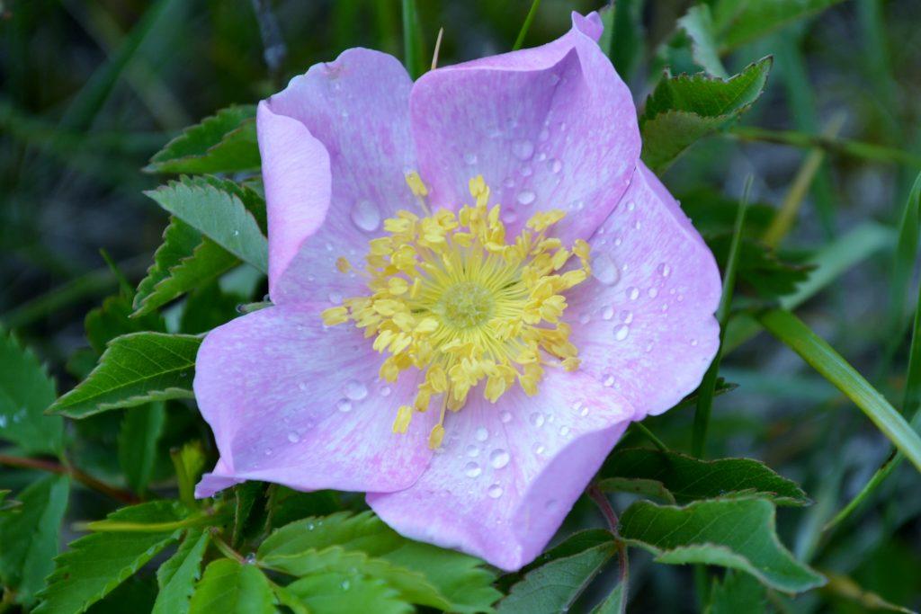Flowerwithdew